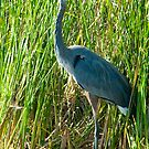 Blue Heron Walk by Mary Campbell