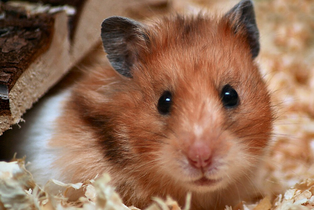 Harriet the Hamster by goodie