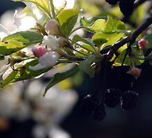 Appleblossom 4. by Nina Elise Vossen