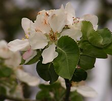 apple blossom  by rebecca smith