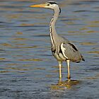 Grey Heron by Peter Bland