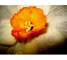 Daffodil Dew Photographic Print
