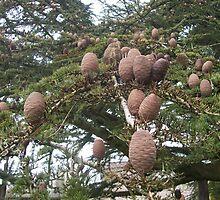 Fir cones on an old cedar tree by Susie J