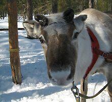 Reindeer by Sam Mortimer
