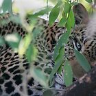Leopard Hiding by Steve Bulford