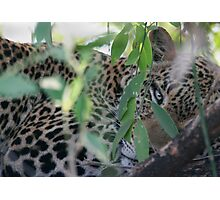 Leopard Hiding Photographic Print