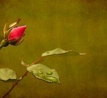 Rosebud by Jonicool