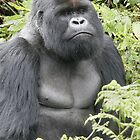 Silverback Gorilla by Steve Bulford
