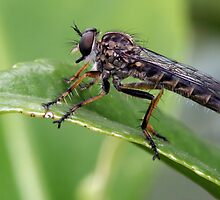 A Robber Fly by Louise Wolfers