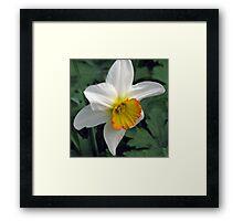 Dandy Daffodil Framed Print