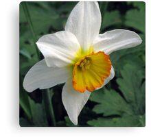 Dandy Daffodil Canvas Print