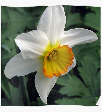 Dandy Daffodil Poster