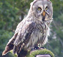 Great Grey Owl  by Objowl