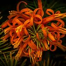 Persoonia chamaepitys. by Bette Devine