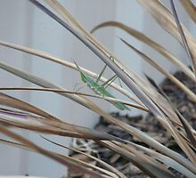 Preying Mantis by Bubblecheex