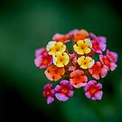 Lantana by Keith G. Hawley