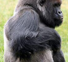Western lowland gorilla by amjaywed