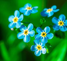 Forget-me-not flowers by luckypixel