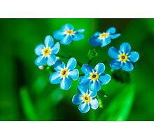 Forget-me-not flowers Photographic Print