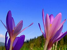 Colchicum on the Sky... by Eugenio