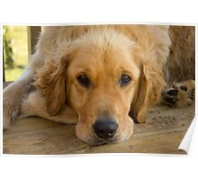Lazy Summer Day - Golden Retriever Poster