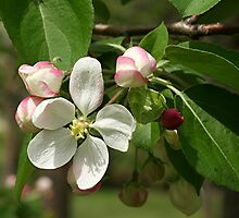 Crab Apple Blossom by Stephen Thomas