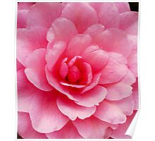 A Second Camellia Poster