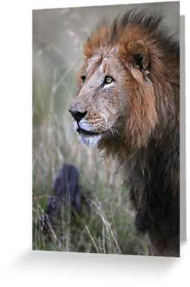 Lion Stare  by Steve Bulford