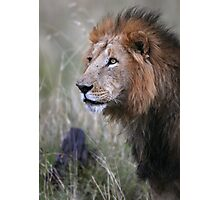 Lion Stare  Photographic Print