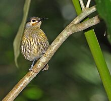 MacLeay's Honeyeater  ~ Rainforest Surprise  by Robert Elliott
