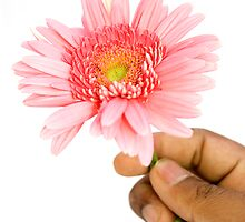Offering Pink Gerbera by bnilesh