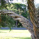 Twisted bark of Tee Tree by oiseau