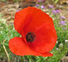 Red Flanders Poppy by Liz  Cattermole