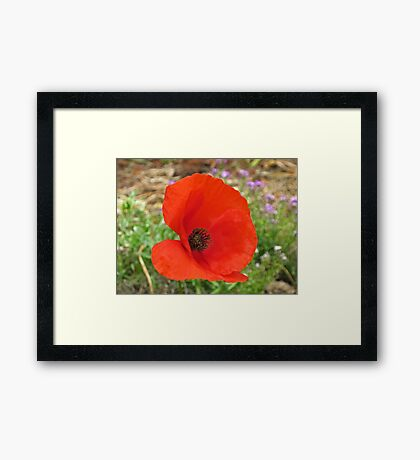 Red Flanders Poppy Framed Print