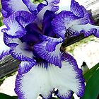 Ruffle Iris2 by Ann Warrenton