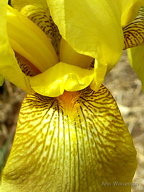 Gold Iris by Ann Warrenton