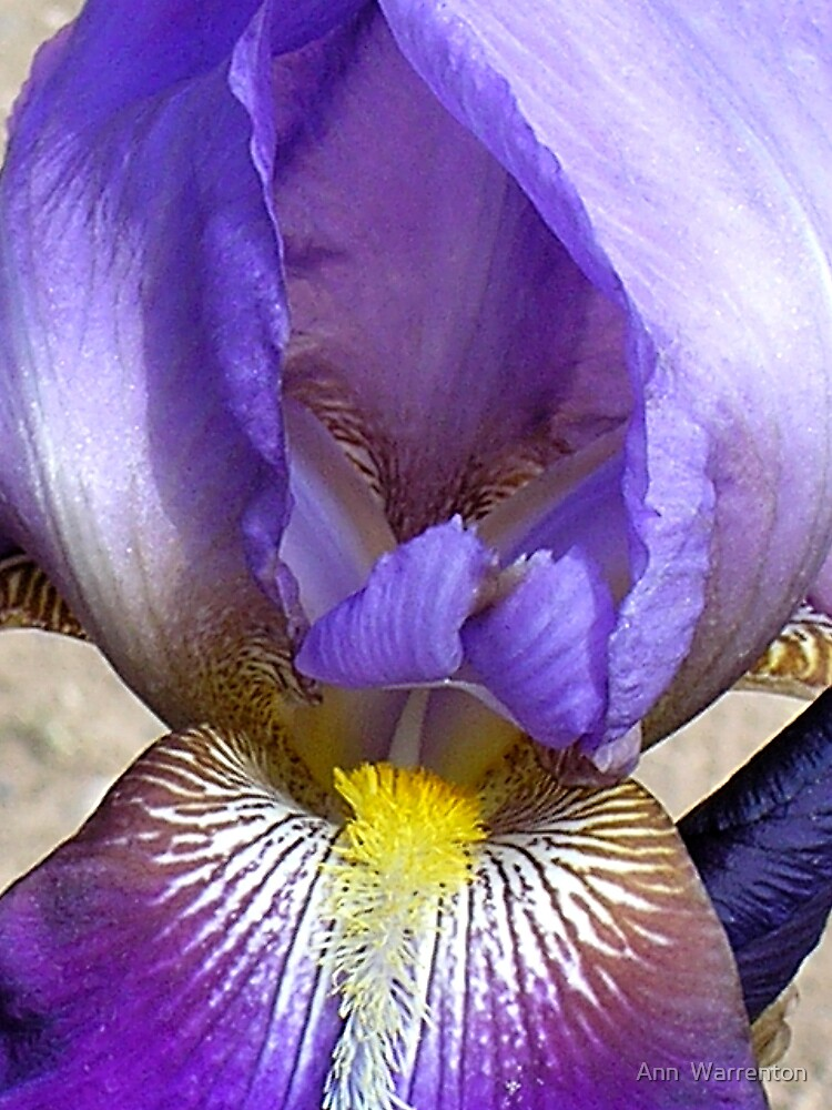 Lavender Iris by Ann  Warrenton