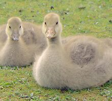 Benji and Benni The Graylag Goslings by AARDVARK