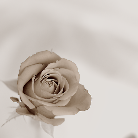 Sepia Rose by Graham Lea