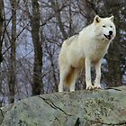 Arctic Wolf Watching by vette