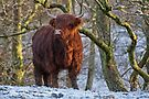 Scottish Highland Cow in the Snow by David Alexander Elder