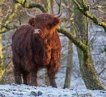 Scottish Highland Cow in the Snow by David Alexander Elder