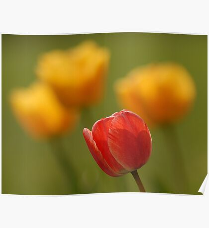 Tulips - A Season of Spring Poster