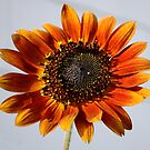 Orange Sunflower by Sandra Moore