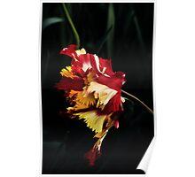 "Parkiet Tulipa (Parrot Tulip) ""Flaming Parrot""  Poster"