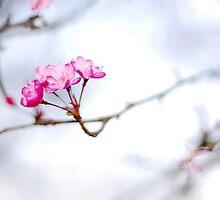 Sakura by danise tang
