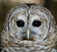 Barred Owl by BarbL