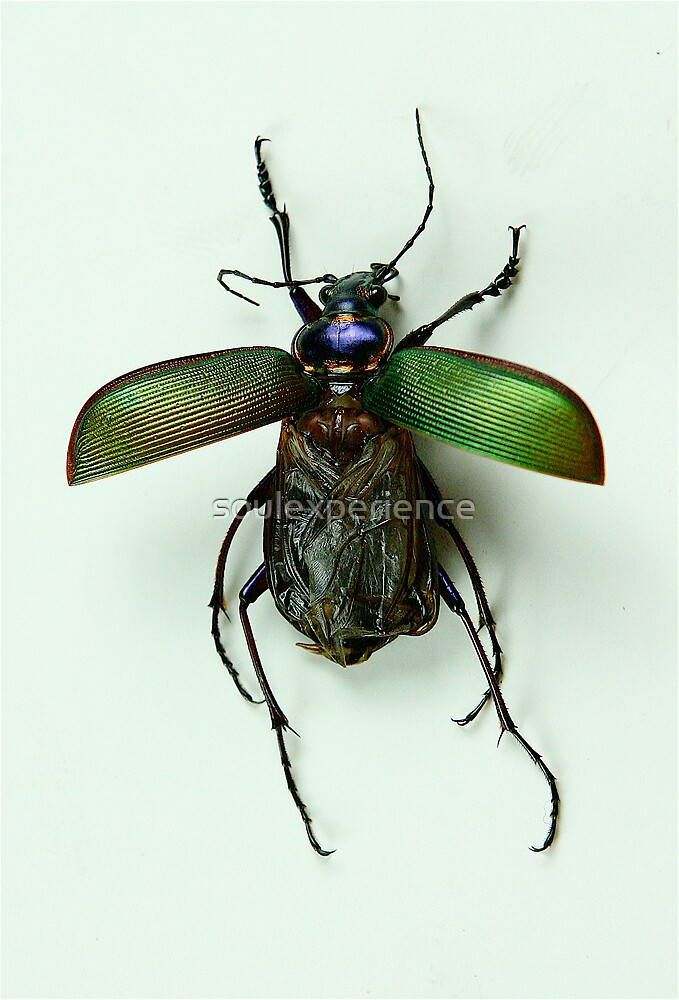 Scarab beetle by soulexperience