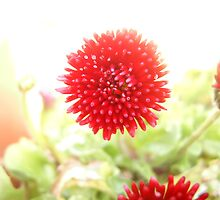 red pom pom by moondance