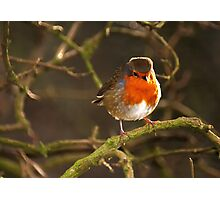 Robin in Hillsborough Forest Park Photographic Print